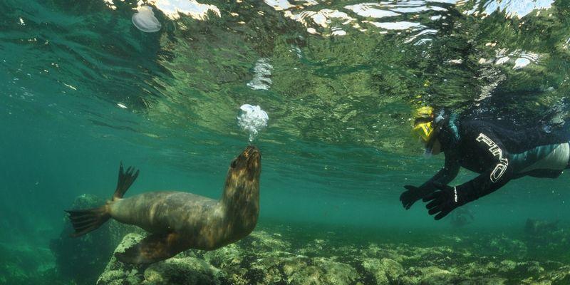 Nadando junto a los lobos marinos.