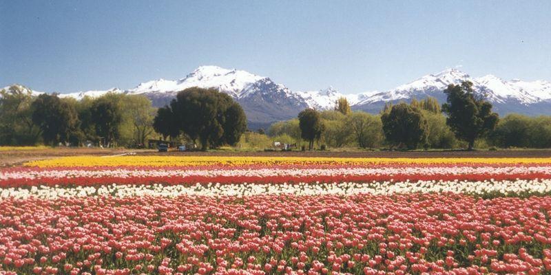 Trevelin con una imagen inusual conformado por tulipanes y peonias.