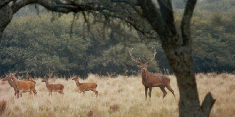 La brama de los ciervos colorados
