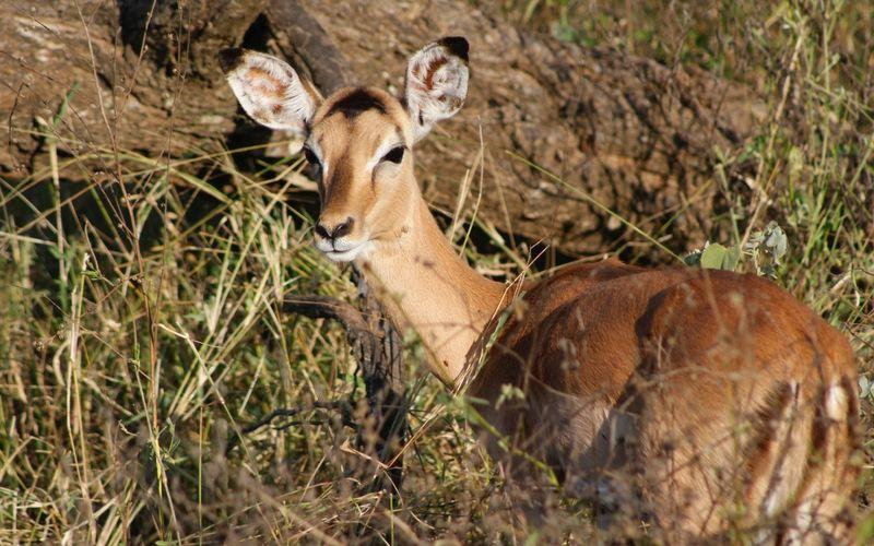 Los safaris se hacen con vehículos adecuados que permiten admirar a los animales sin molestarlos.