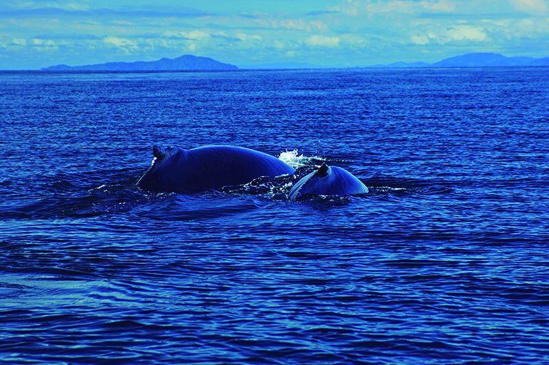 Ballenas Jorobadas en las costas panameñas.