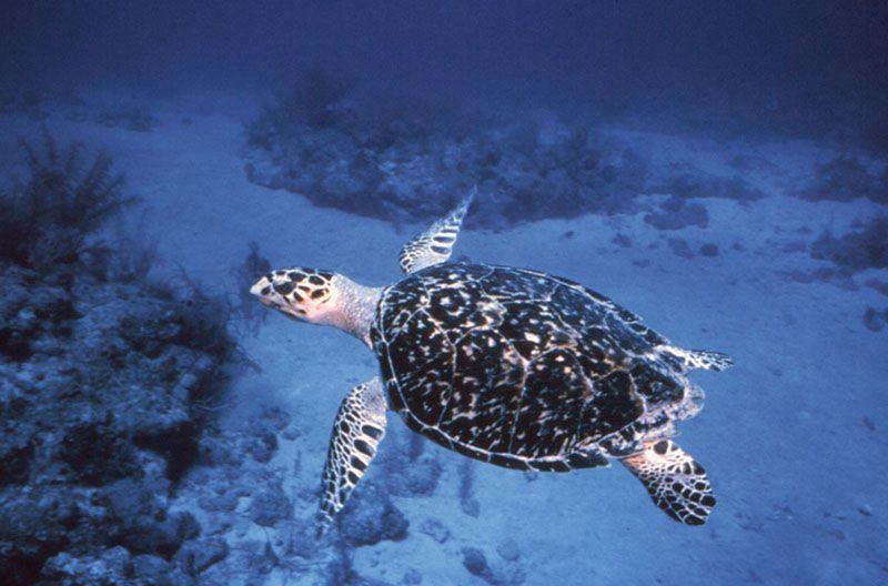 Las playas de Fort Lauderdale sirven como zona de anidación de tortugas marinas