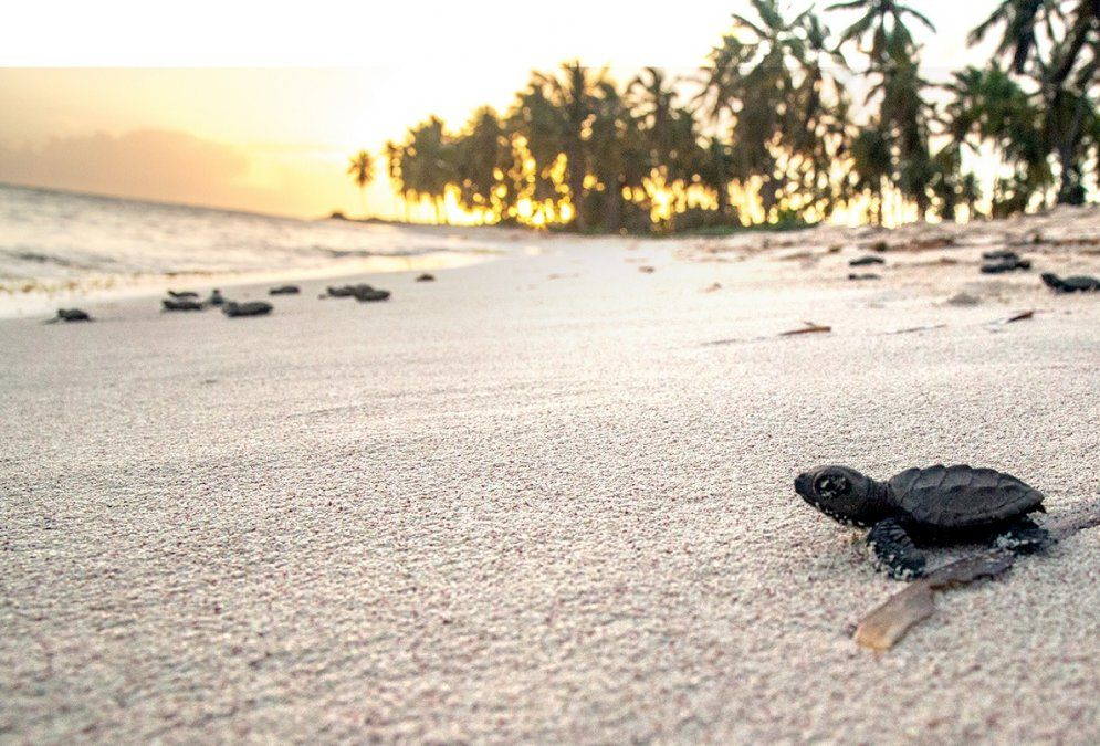 La Isla Saona es el área más importante para la puesta de huevos de tortugas marinas en todo el país.