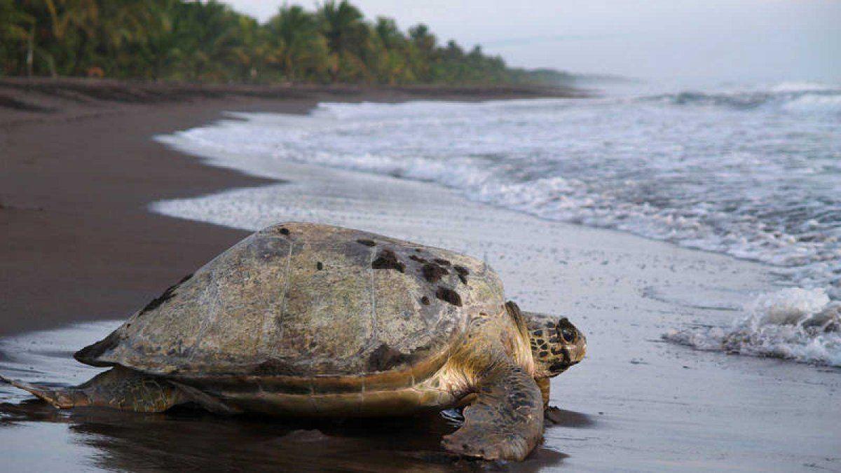 El Parque Nacional Tortuguero sirve como escenario de desove para las tortugas marinas.