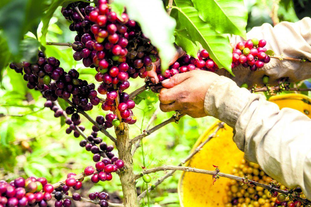 Cosechando los granos de café.
