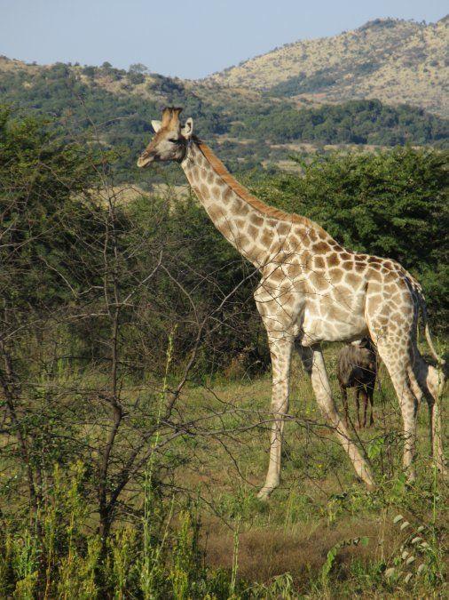 Las jirafas suelen moverse con otros animales por el territorio del parque.
