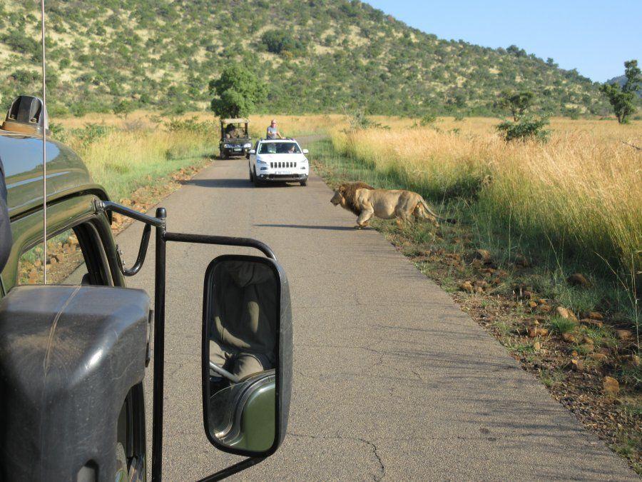 Un león atraviesa un camino de Pilanesberg.