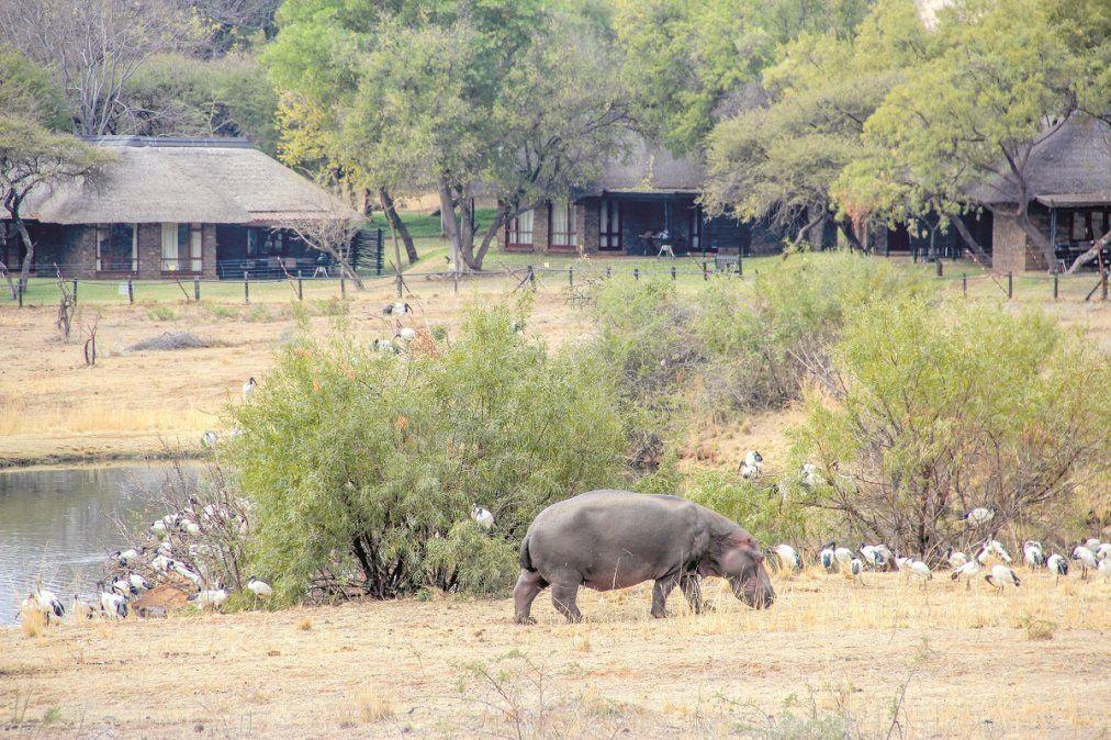 Los hipopotamos son grandes atractivos mientras se pasea a pie o en una camioneta.