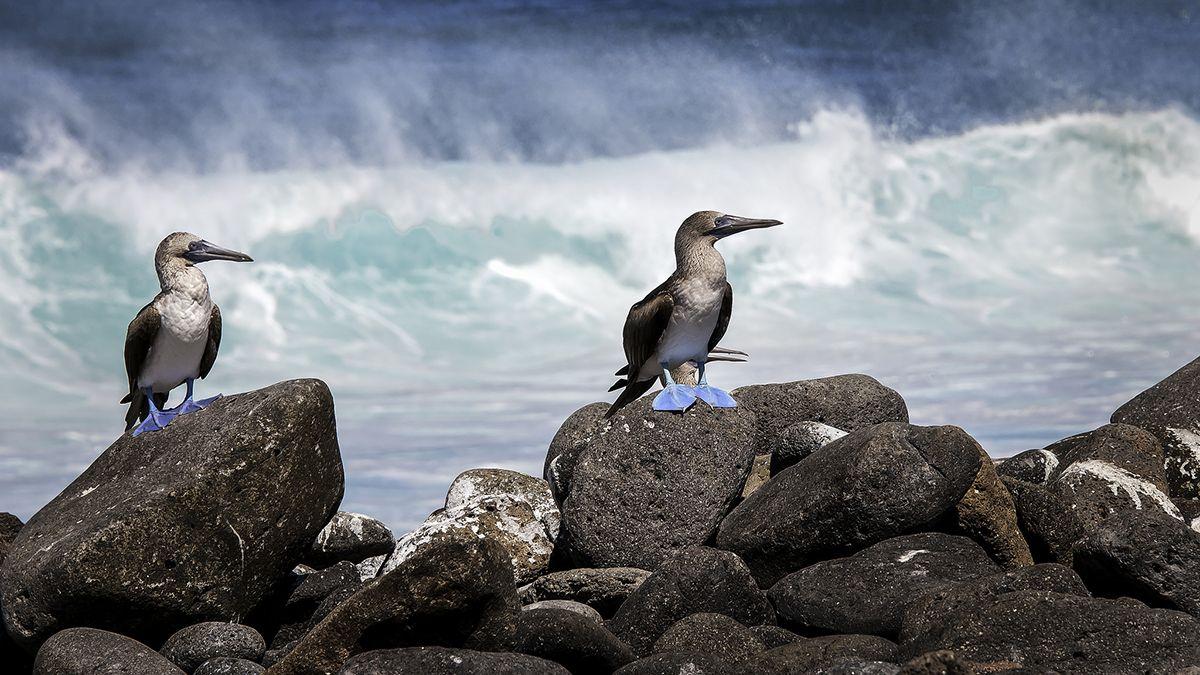 Piqueros patas azules en Galápagos