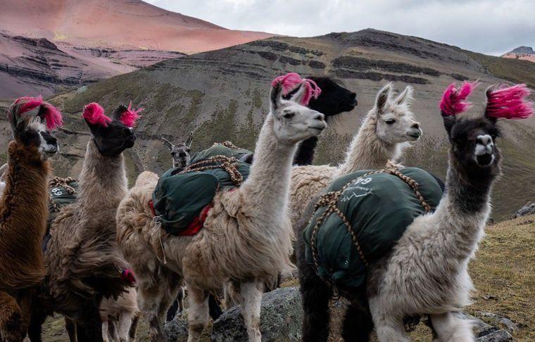 PromPerú formó una alianza con Tencent para promocionar el turismo y la alpaca peruana en China y de esta manera motivar a los viajeros.