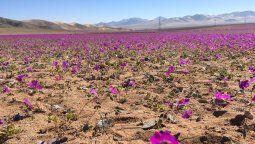 Atacama: la floración del desierto más árido del mundo atrae a viajeros de todo el mundo.