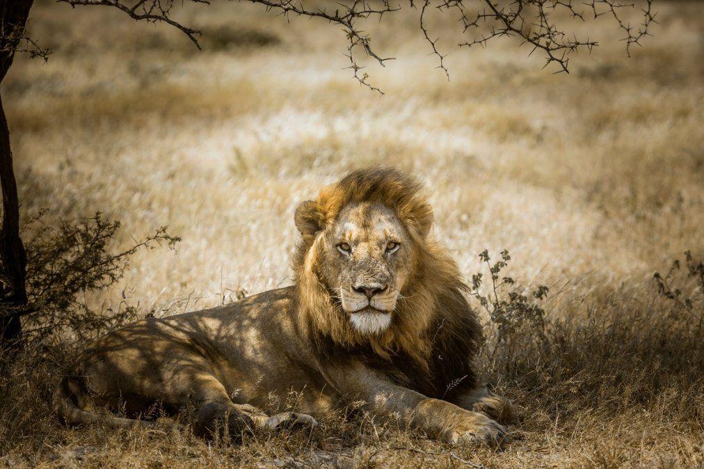 El majestuoso león es uno de los animales más difíciles de divisar.