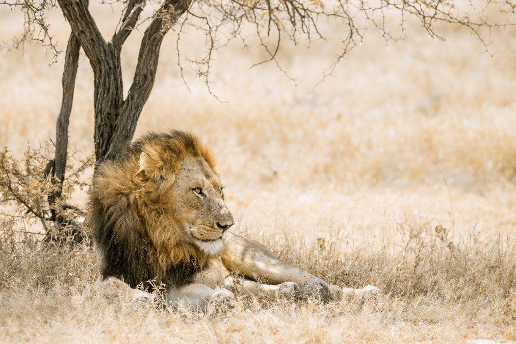 Los leones descansan placidamente en la sabana sudafricana.